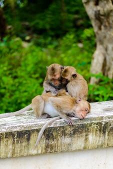 Affen (krabben essen makaken) pflegen sich gegenseitig.