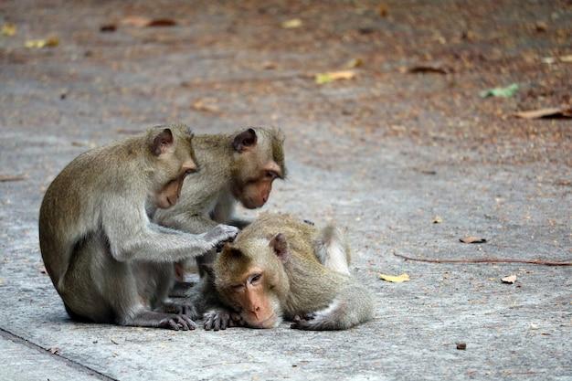 Affen suchen nach flöhen und beißen nach männlichen affen