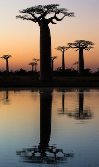 Affenbrotbäume bei sonnenaufgang in der nähe des wassers mit reflexion in madagaskar