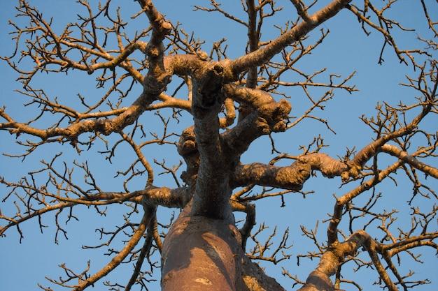 Affenbrotbaum auf blauem himmel im hintergrund in madagaskar