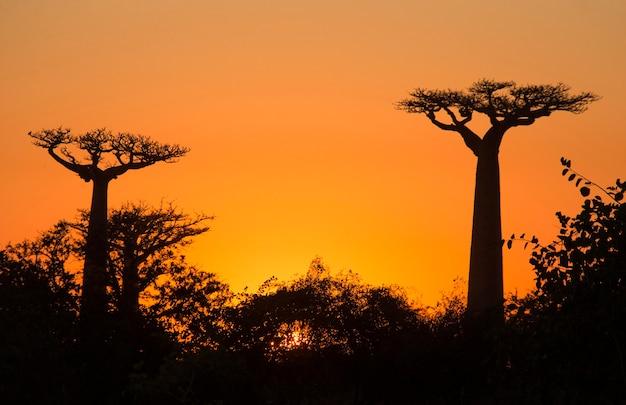 Affenbrotbaum im morgengrauen in madagaskar