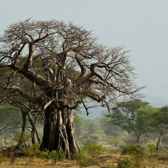 Affenbrotbaum in landschaft, tansania, afrika