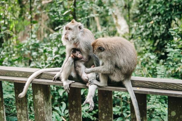 Affenfamilie mit kleinem baby im wald ubud bali indonesien. affen kratzen sich gegenseitig am rücken.