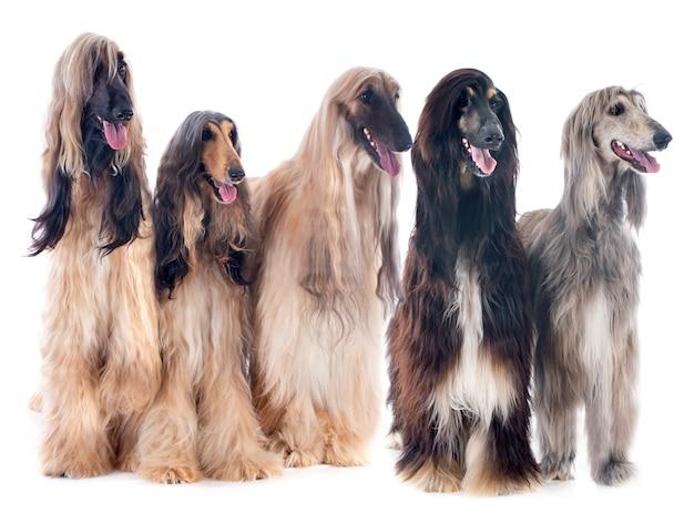 Afghanische hunde