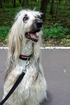 Afghanischer windhund, der auf dem asphaltgehweg im park sitzt