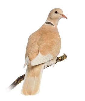 African collared dove saß auf seinem ast, isoliert auf weiß