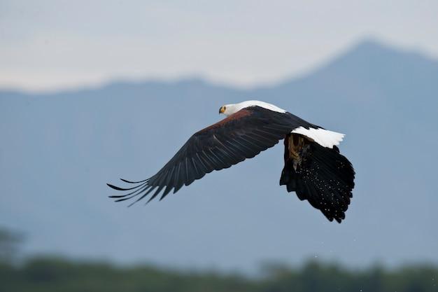 African fish eagle fliegen
