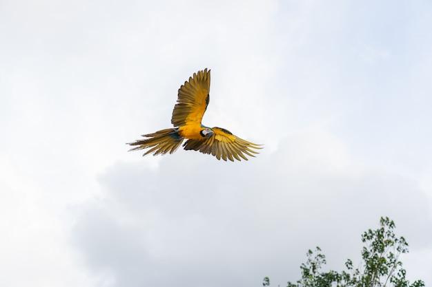 Afrika-macawfliegen