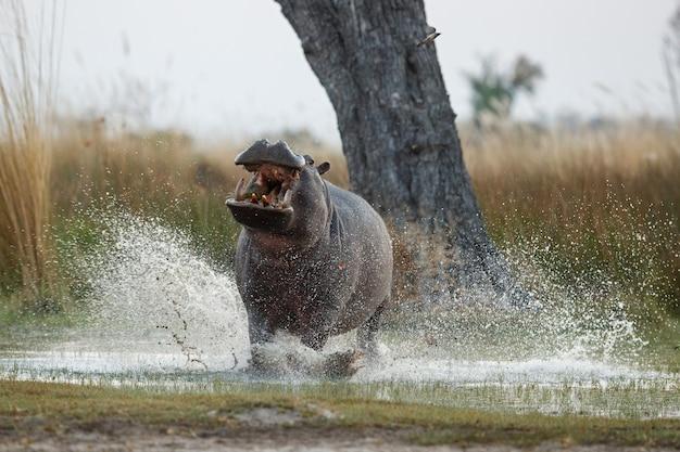 Afrika nilpferd amphibius