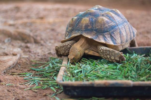 Afrikanische angetriebene schildkröte (geochelone sulcata) gras essend