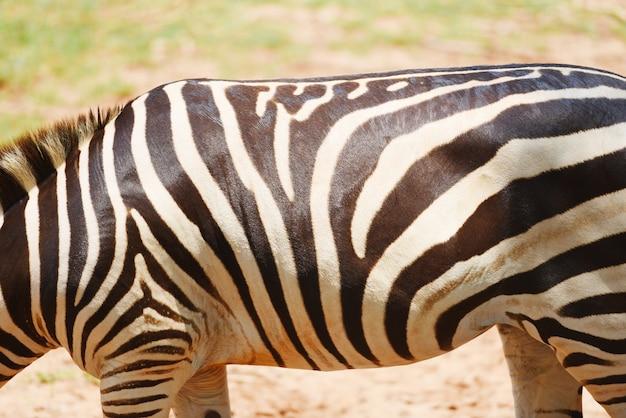 Afrikanische ebenen des wirklichen zebras des zebramusters lassen rasenfläche im nationalpark weiden