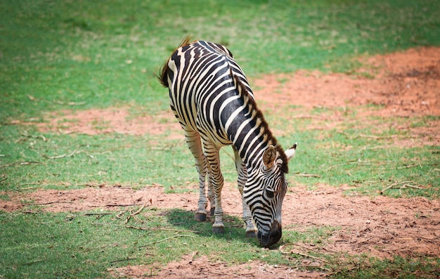 Afrikanische ebenen des zebras lassen gras am nationalpark weiden