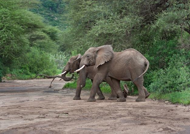 Afrikanische elefanten, die trockenen fluss überqueren