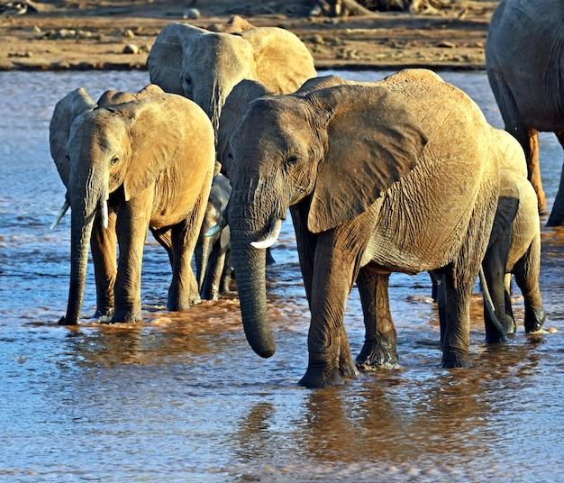 Afrikanische elefanten in ihrem natürlichen lebensraum. kenia