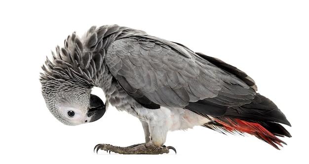 Afrikanische gery papagei federpflücken vor einem weißen
