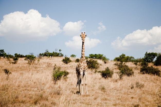 Afrikanische giraffe in einem safari park