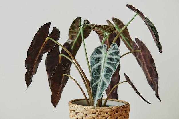 Afrikanische maskenpflanze auf hellgrauem hintergrund
