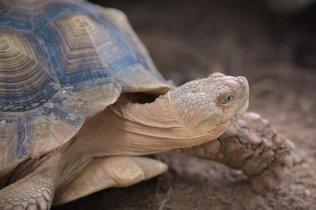 Afrikanische schildkröte (geochelone sulcata)