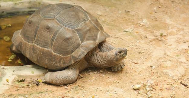 Afrikanische sporenschildkröte (sulcata-schildkröte) bewohnt südlichen rand der sahara-wüste, ich