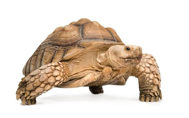 Afrikanische spornschildkröte auch bekannt als afrikanische spornschenkelschildkröte - geochelone sulcata auf einem weißen isolierten