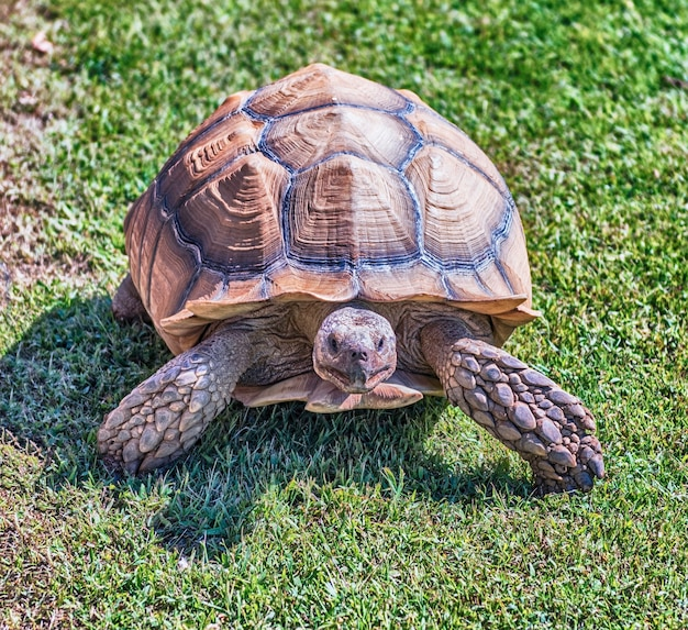 Afrikanische spornschildkröte auf gras