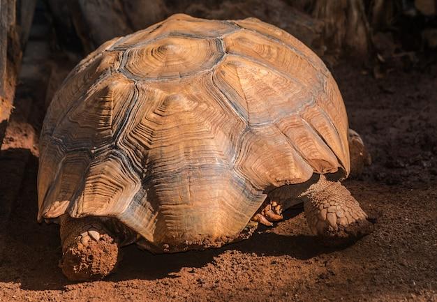 Afrikanische spornschildkröte (centrochelys sulcata), rückansicht mit sonnenlicht