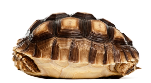 Afrikanische spornschildkröte, geochelone sulcata, 1 jahr alt, ionenweiß isoliert