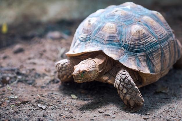Afrikanische spornschildkröte (geochelone sulcata) gehen