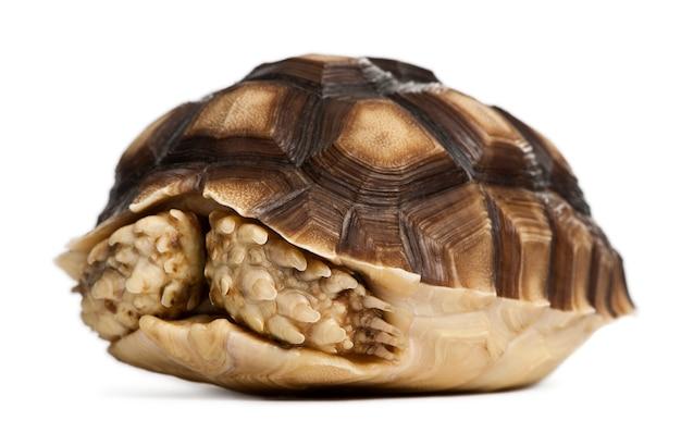 Afrikanische spornschildkröte - geochelone sulcata