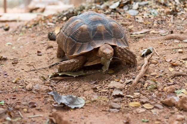 Afrikanische spornschildkröte (geochelone sulcata)