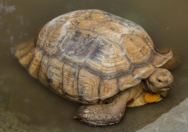 Afrikanische spornschildkröte im wasser