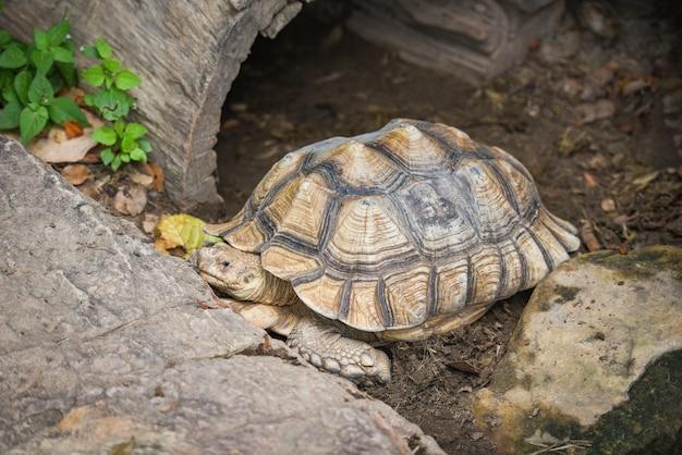 Afrikanische spornschildkröte - nah herauf die schildkröte, die auf dem boden liegt