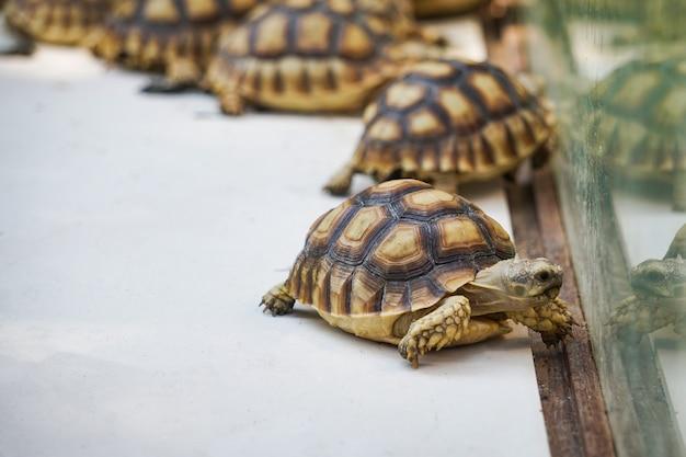 Afrikanische spornschildkröte. schließen sie oben schildkröte, die im bauernhof geht