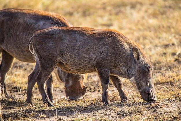 Afrikanische wildschweine, die gras im masai mara-nationalpark essen, wilde tiere in der savanne. kenia