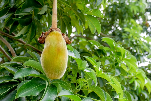 Afrikanischer affenbrotbaum oder affenbrot