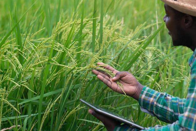 Afrikanischer bauer, der tablette für die forschung im bio-reisfeld hält. landwirtschafts- oder anbaukonzept