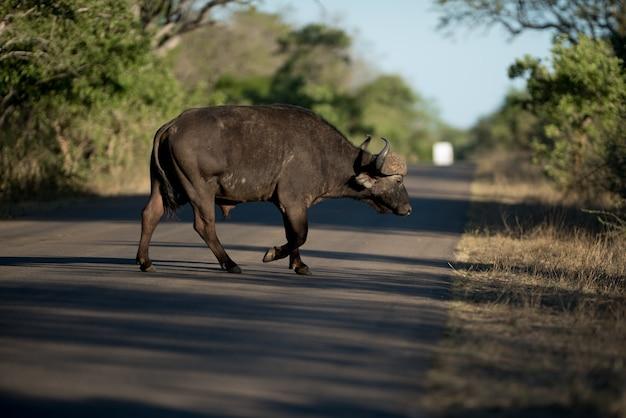 Afrikanischer büffel, der die straße mit einem unscharfen hintergrund kreuzt