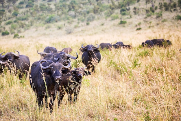 Afrikanischer büffel im masai mara nationalpark, kenia
