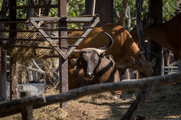 Afrikanischer büffel im zoo