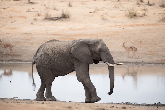 Afrikanischer elefant, der auf der seite des sees geht