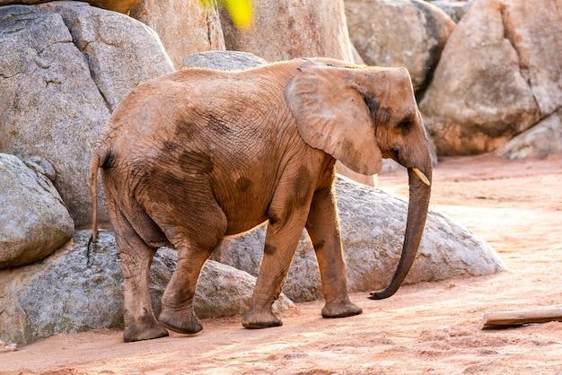 Afrikanischer elefant, der durch einen zoo und ein lächeln geht.