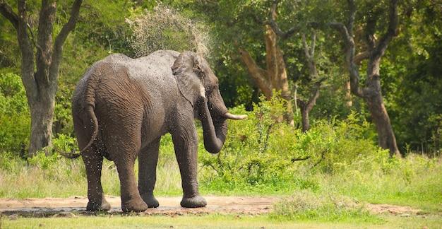 Afrikanischer elefant, der sich im wald in südafrika mit wasser wäscht