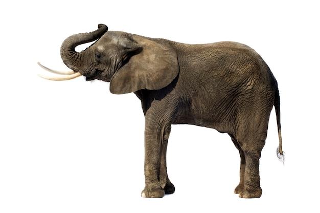 Afrikanischer elefant isoliert