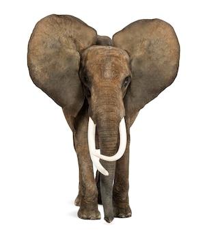 Afrikanischer elefant stehend, ohren hoch, lokalisiert auf weiß