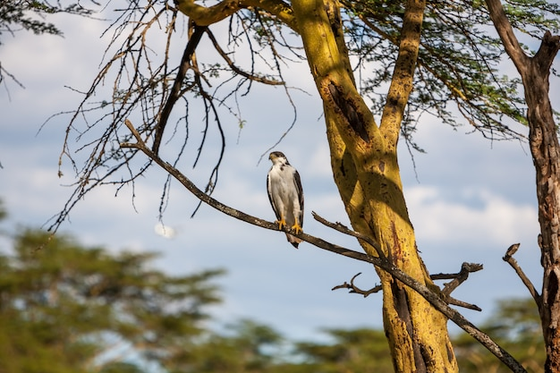 Afrikanischer fischadler auf einem baum, kenia