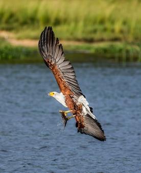 Afrikanischer fischadler im flug mit dem fisch in seinen krallen. ostafrika. uganda.