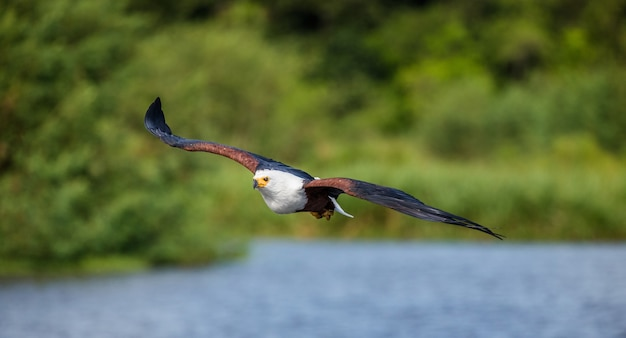 Afrikanischer fischadler im flug.