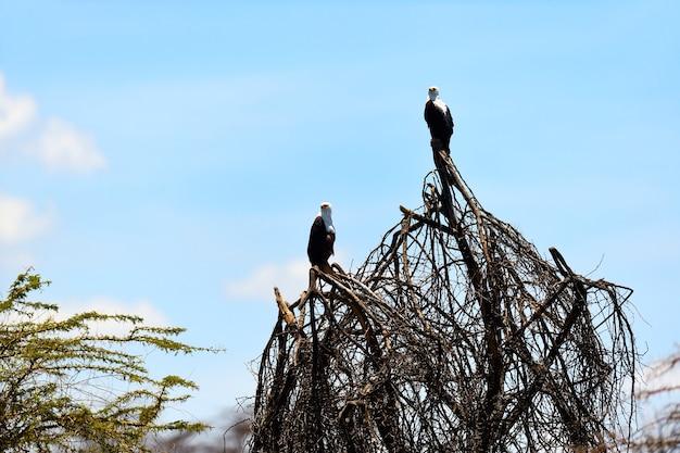 Afrikanischer fischadler naivasha lake national park