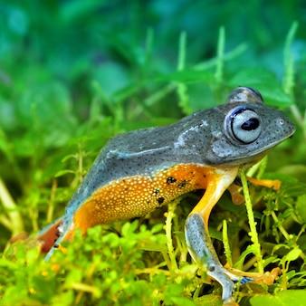 Afrikanischer frosch
