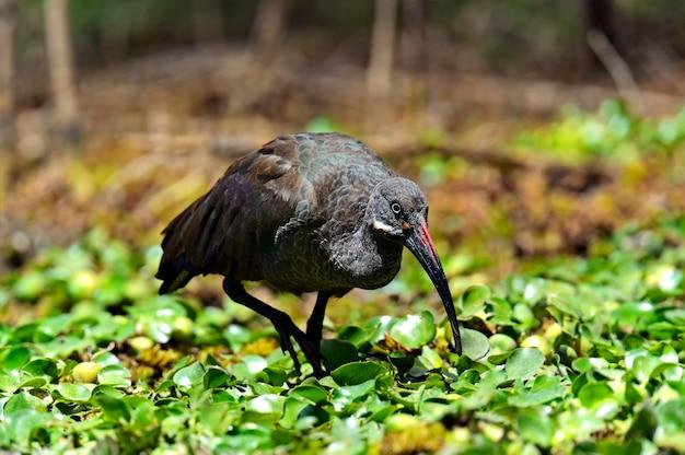 Afrikanischer hadeda ibis nationalpark see naivasha